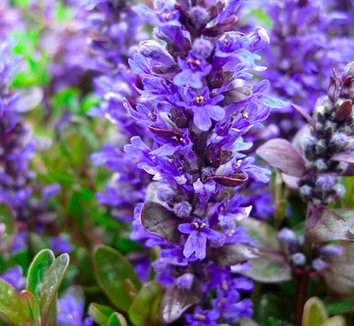 Ajuga reptans 'Chocolate Chip' 4