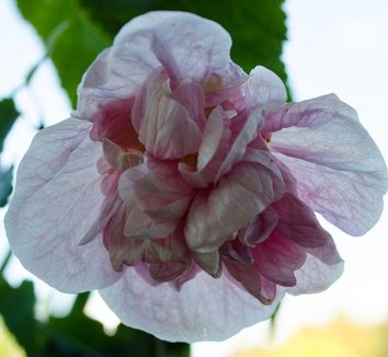 Abutilon 'Victorian Lady' 5 flower