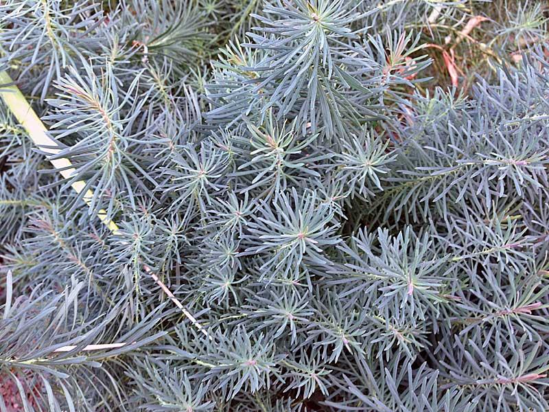 Euphorbia-Fen's-Ruby_web