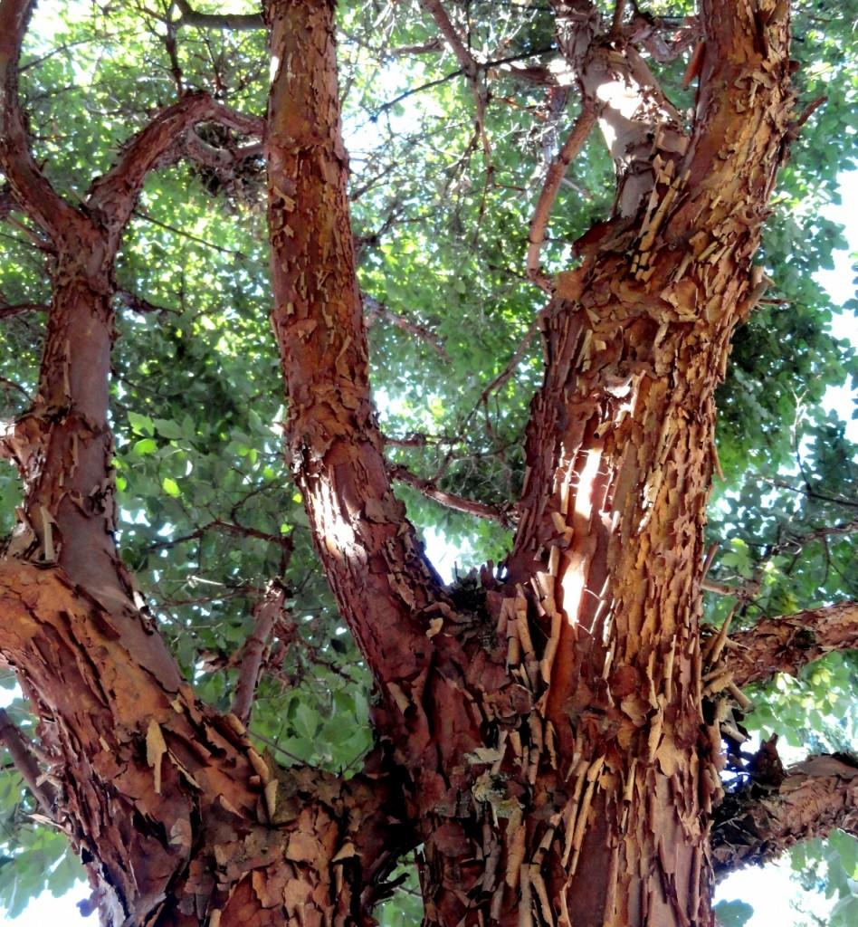 5 Acer griseum