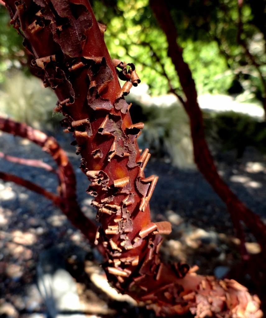 3 Arctostaphylos bark