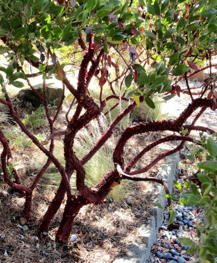 4 Arctostaphylos densiflora 'Harmony' structure