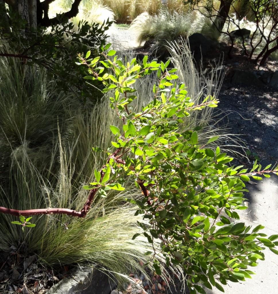 2 Arctostaphylos densiflora 'Harmony' foliage