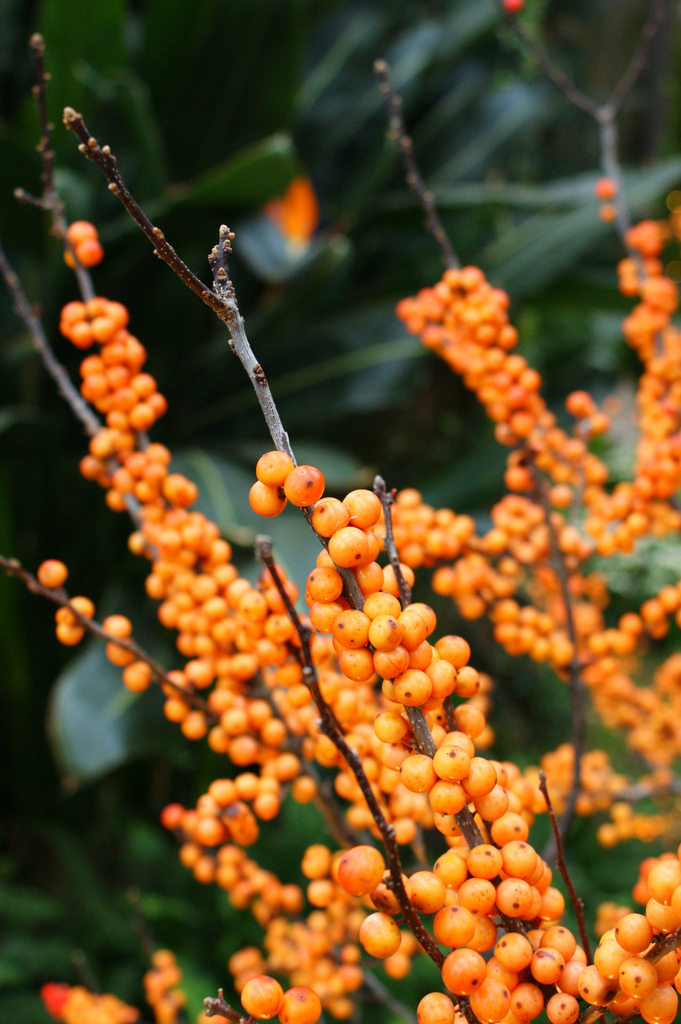 Ilex verticillata 'Winter Gold' by Karl Gercens Used with permission, all rights reserved