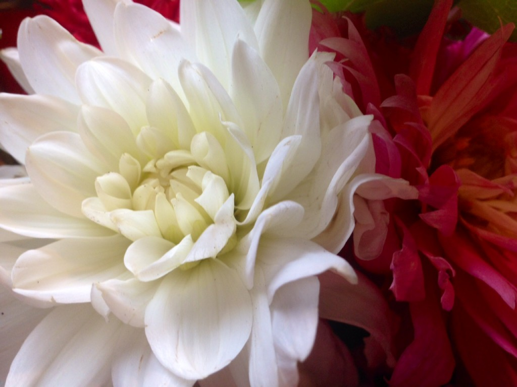 Grandmother Kate Loved Dahlias