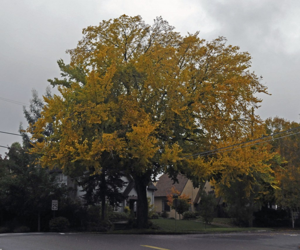 American Elms Reigned Supreme in Portland