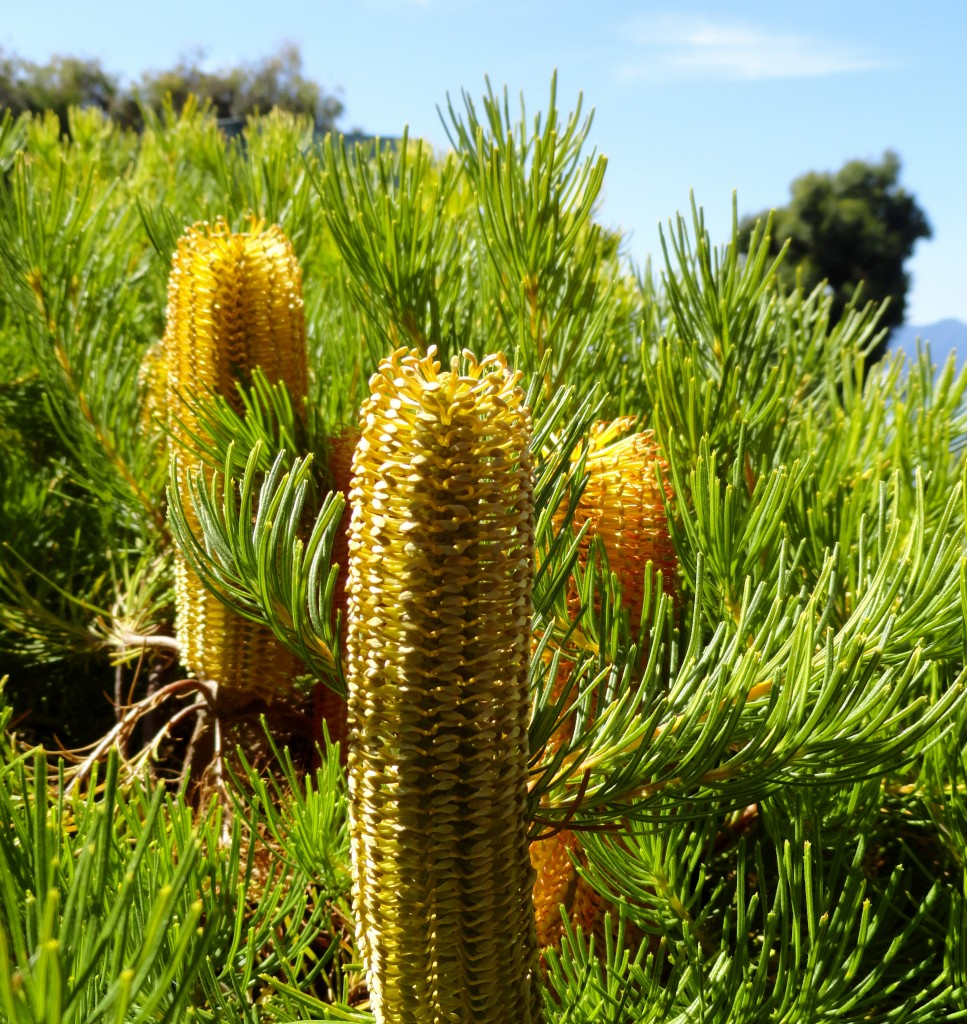 The Wave Garden h Banksia spinulosa