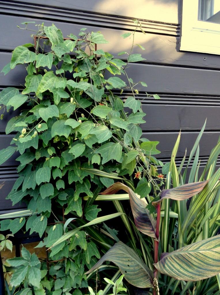 Passiflora 'Sunburst' vine
