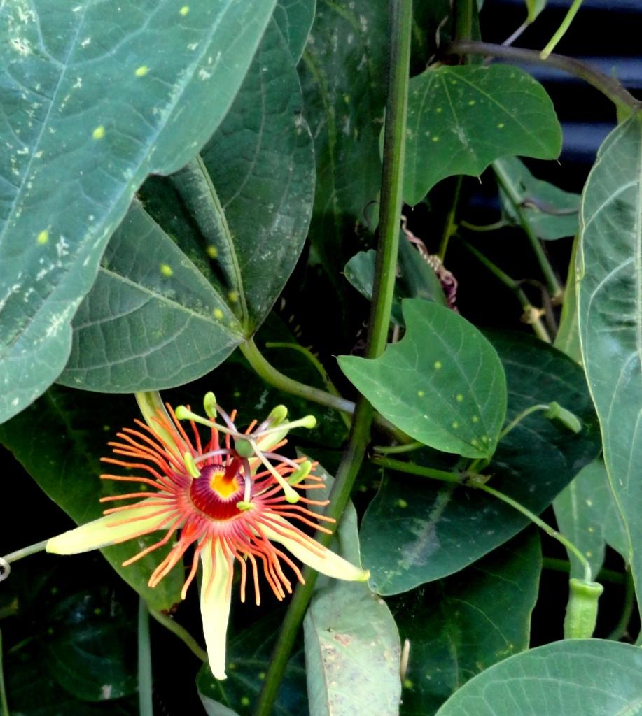 Passiflora 'Sunburst' bloom shade