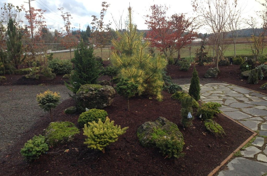 Everything's Coming up Conifers