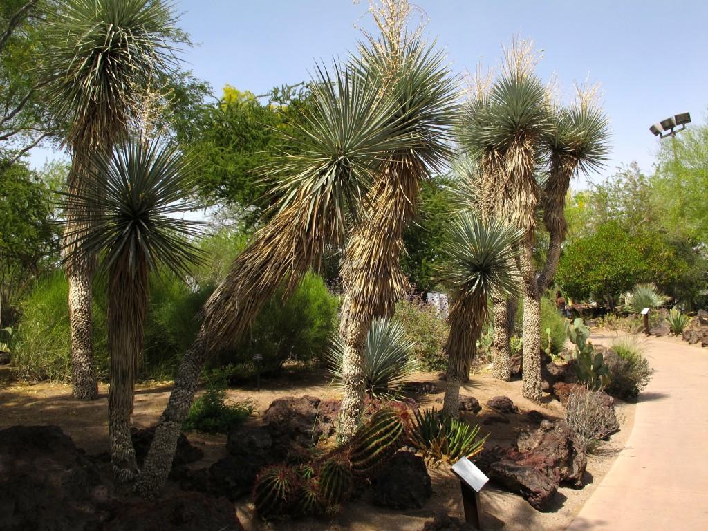 yucca rigida 2