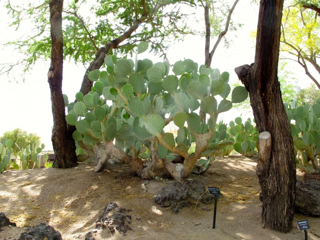 Texas prickly pear Opuntia lindeimeri var lindheimeri 2