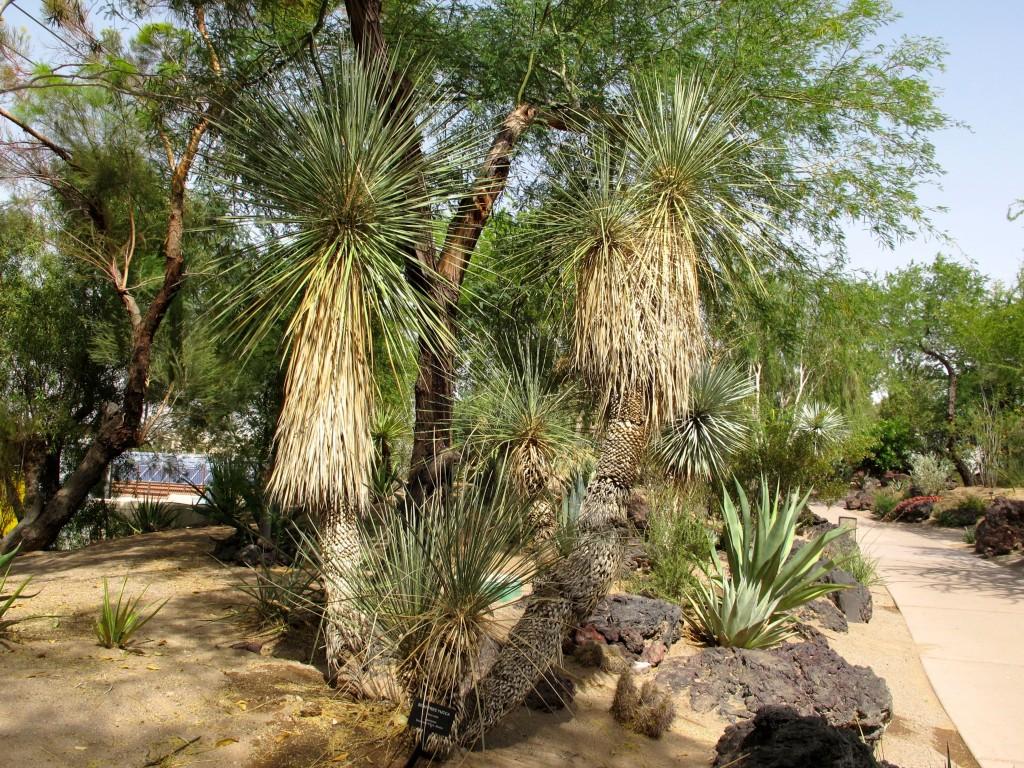 soaptree yucca 2