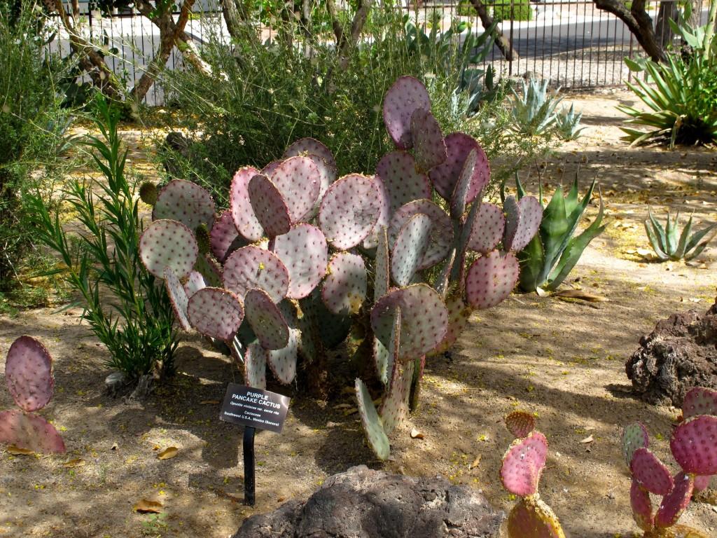 purple pancake cactus