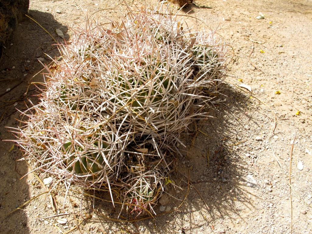 hedgehog cactus echinocereus engelmannii var englemannii