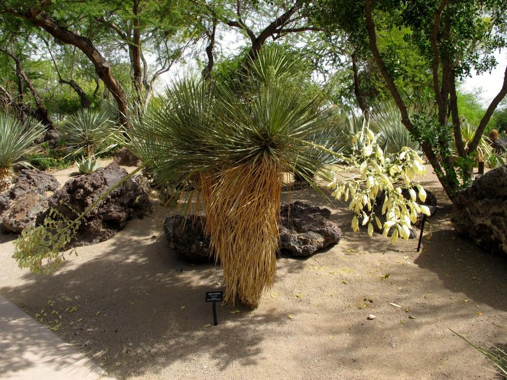 beaked yucca