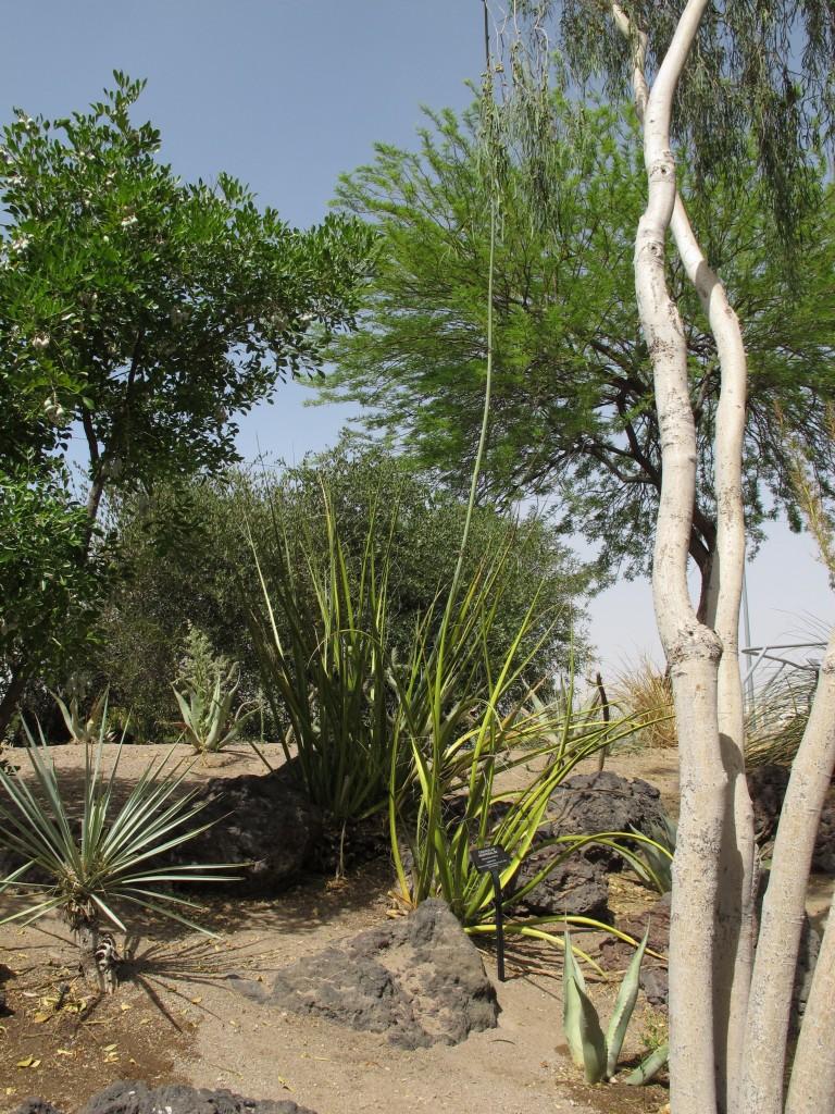 hesperaloe funifera 2