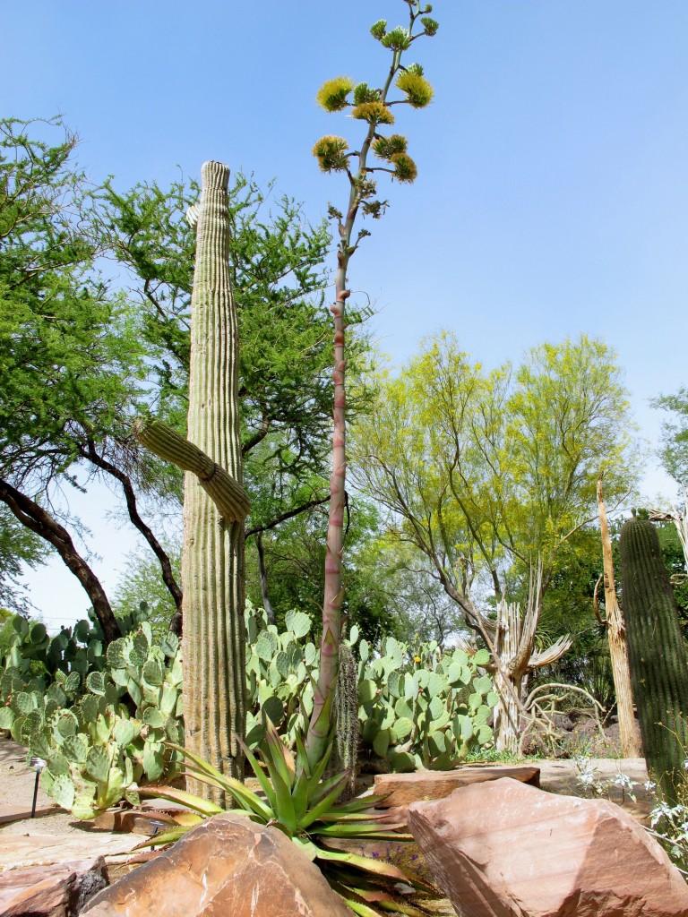 agave bovicornuta