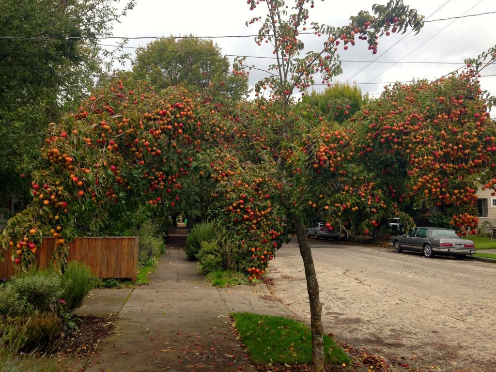 cornus fruit