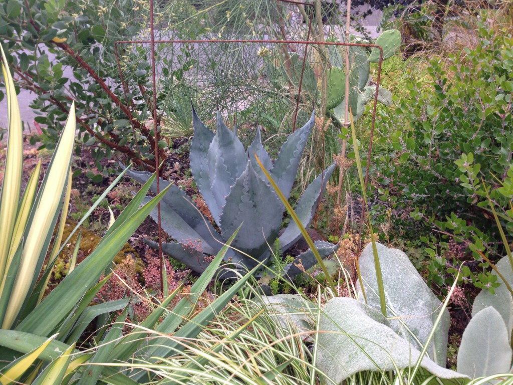 Agave 'Silver Surfer' with Verbasicum 'Arctic Summer' pal.