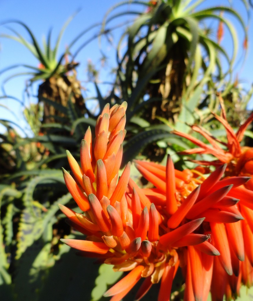 Aloe bloom (NOID) at Balboa Park