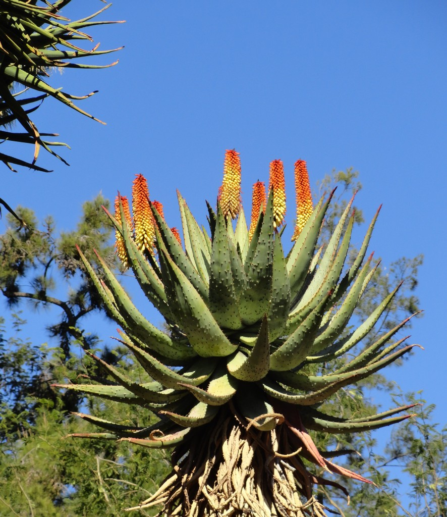 Aloe marlothii at the Huntington Gardens