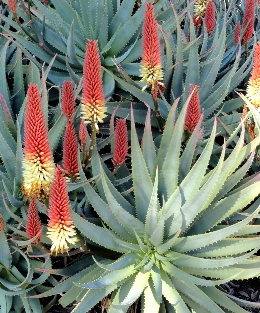 Aloe 'David Verity' at the Huntington Gardens