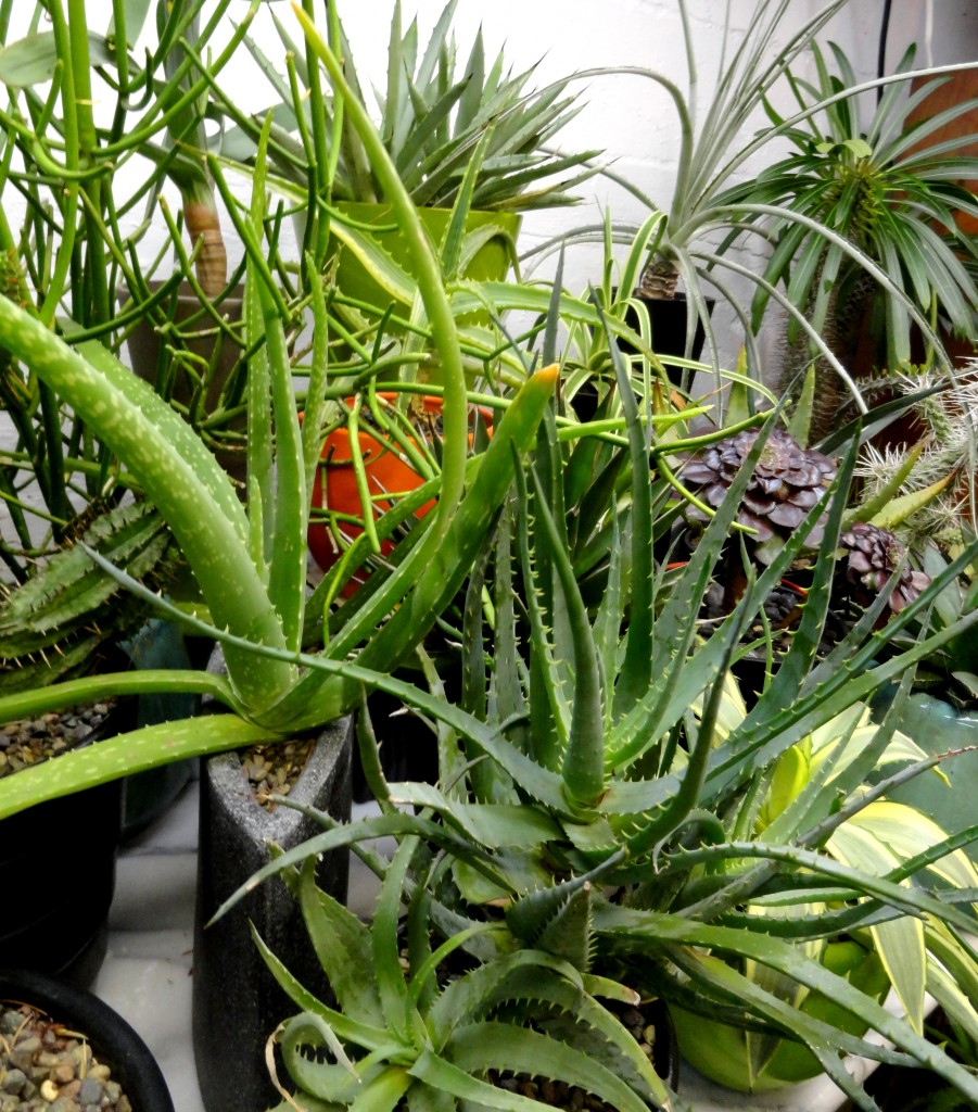 A shot of some of my indoor-overwintering containers. Can you spot the four aloes?