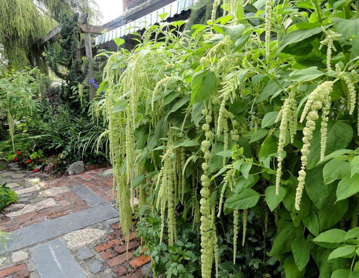 Amaranthus caudatus viridis