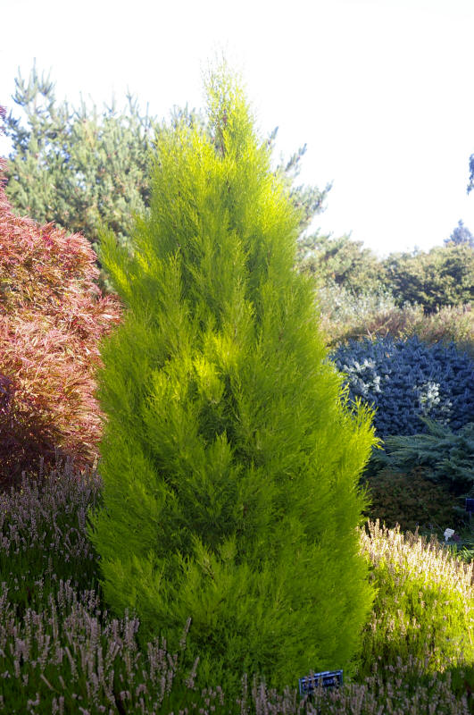 cypressus macrocarpa wilma goldcrest