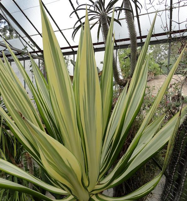 Furcraea gigantea variegata