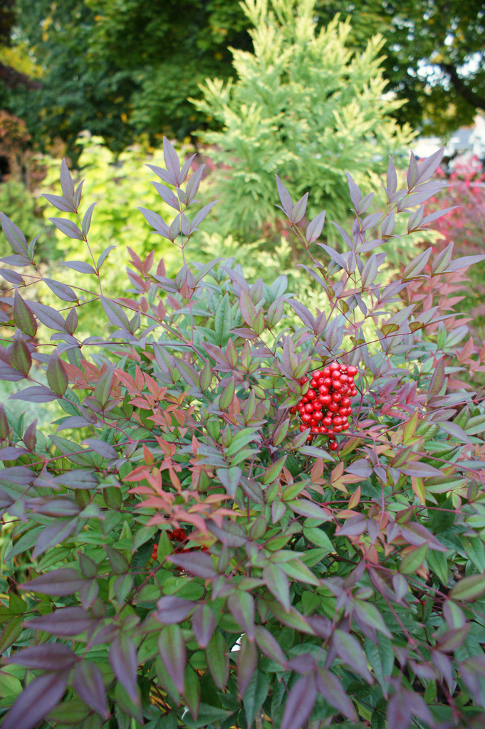 Nandina domestica moyers red