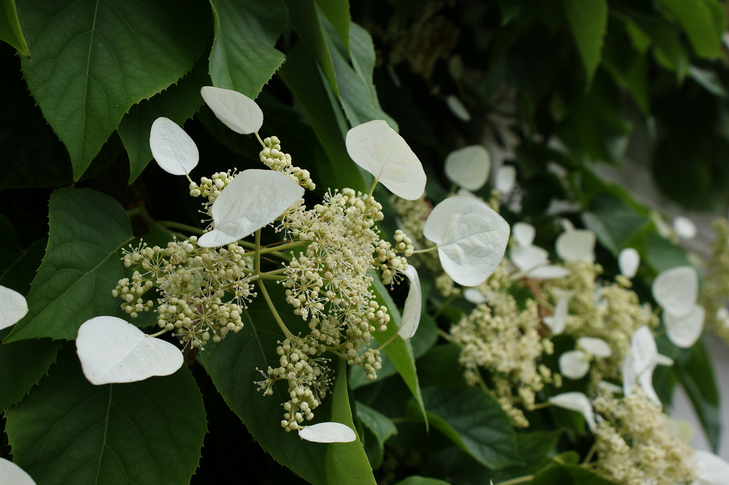 schizophragma hydrangeoides moonlight