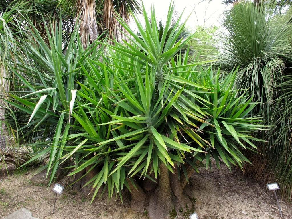 Roman holiday orto botanico style plant lust - Yucca pied d elephant ...