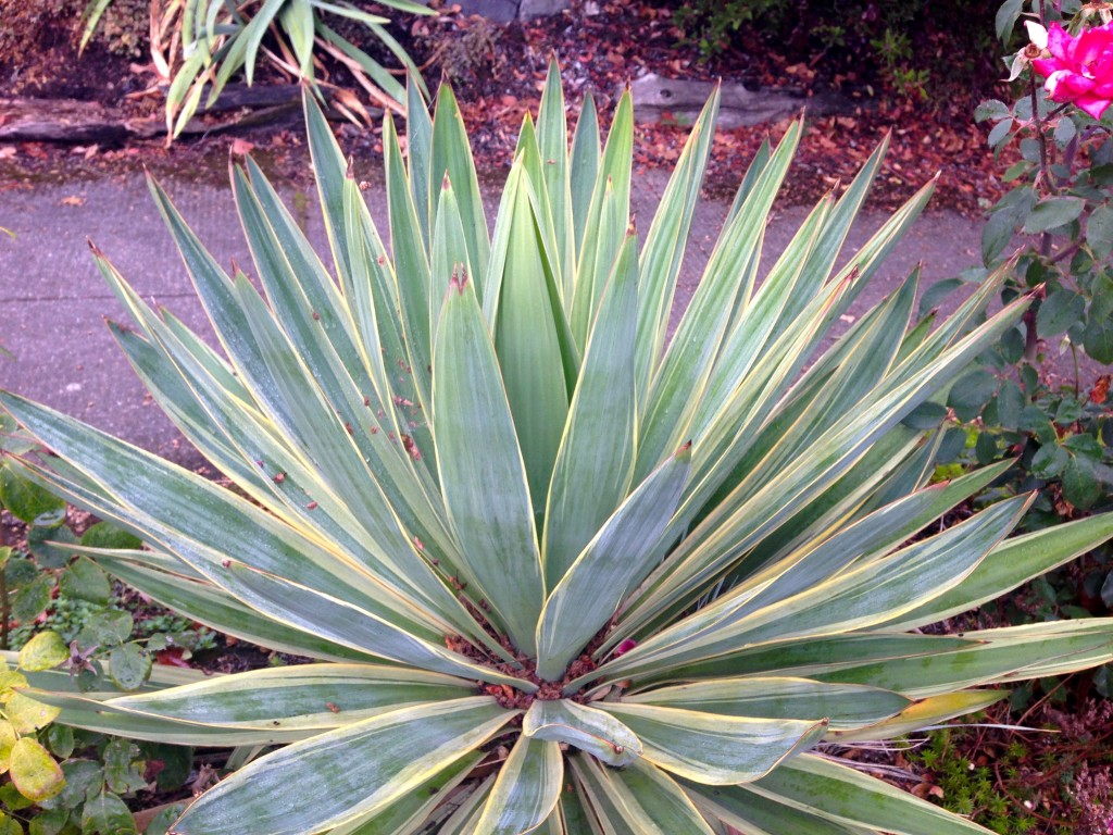 tidy variegated yucca