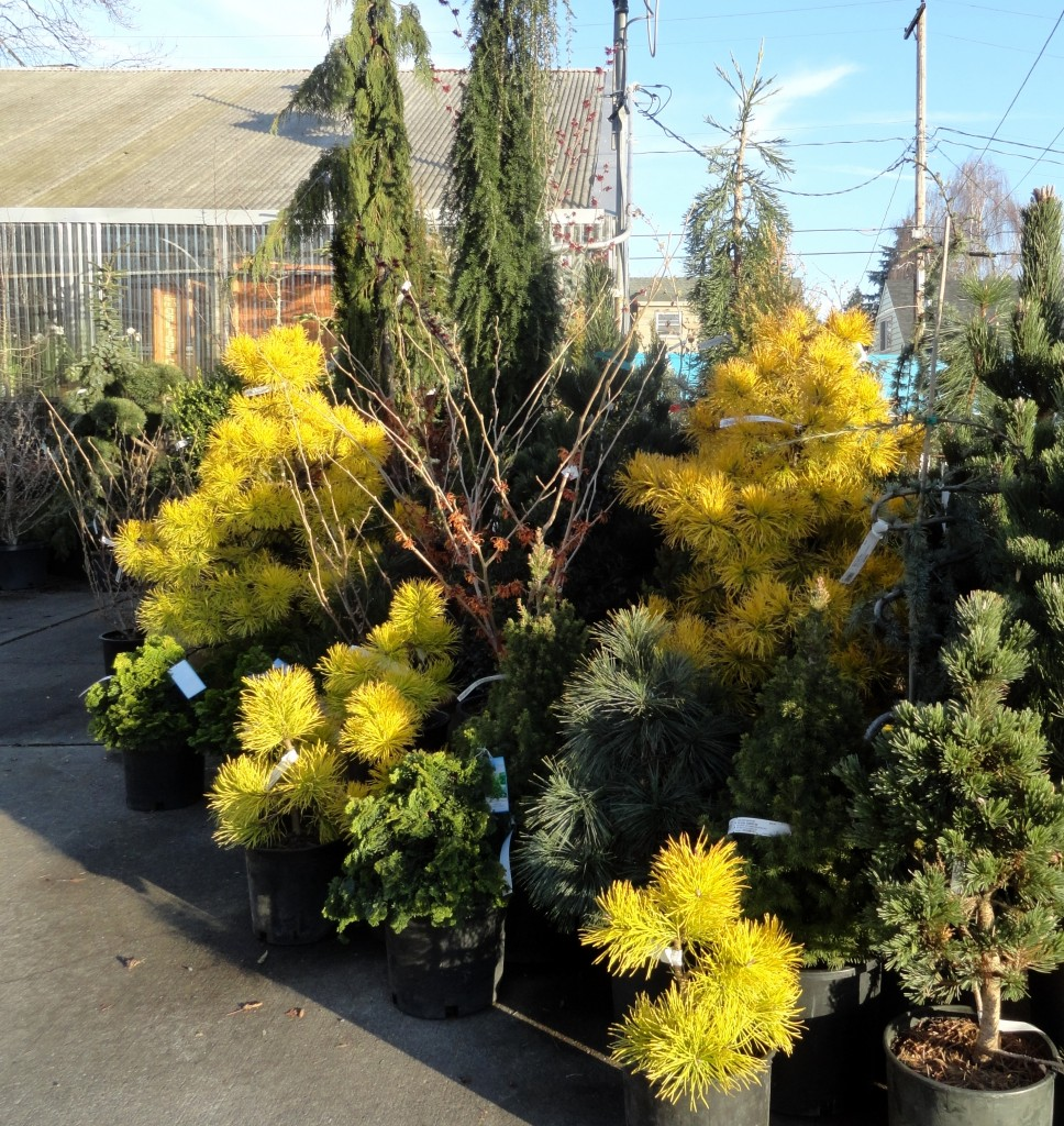 Pinus contorta 'Chief Joseph' at PDX