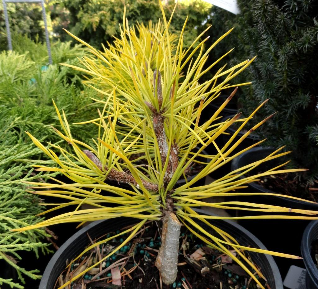 Pinus contorta 'Chief Joseph' at PDX 59