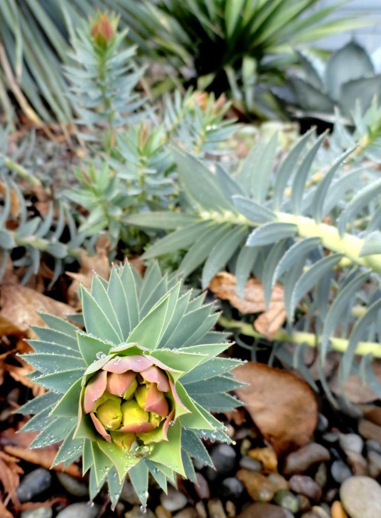 Euphorbia rigida close up