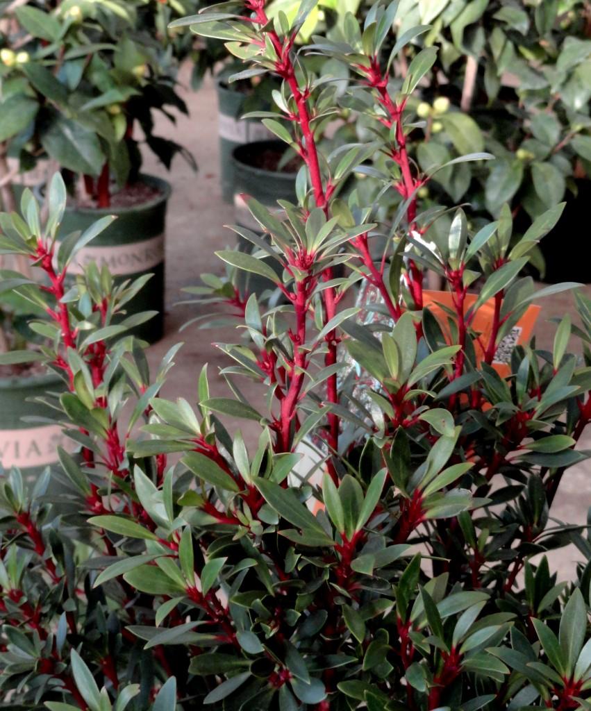 Drimys lanceolata at PDX