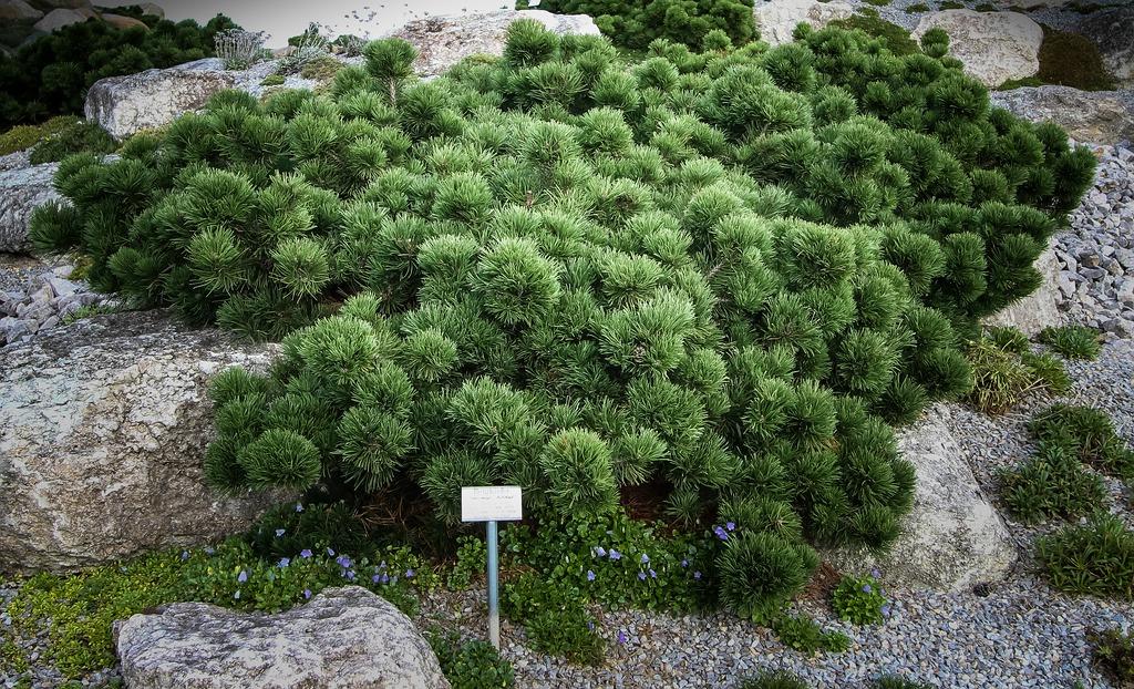 pinus mugo bubikopf by hedwig storch