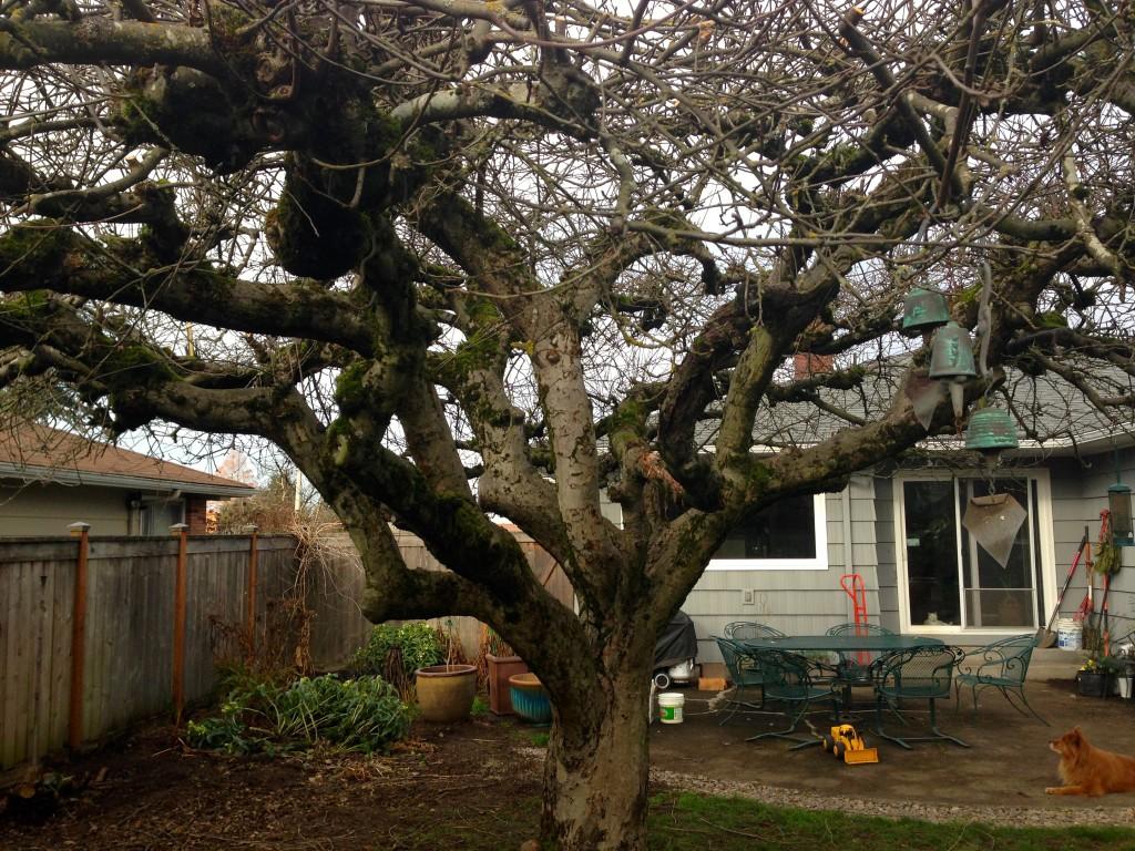 gorgeous apple tree trunk