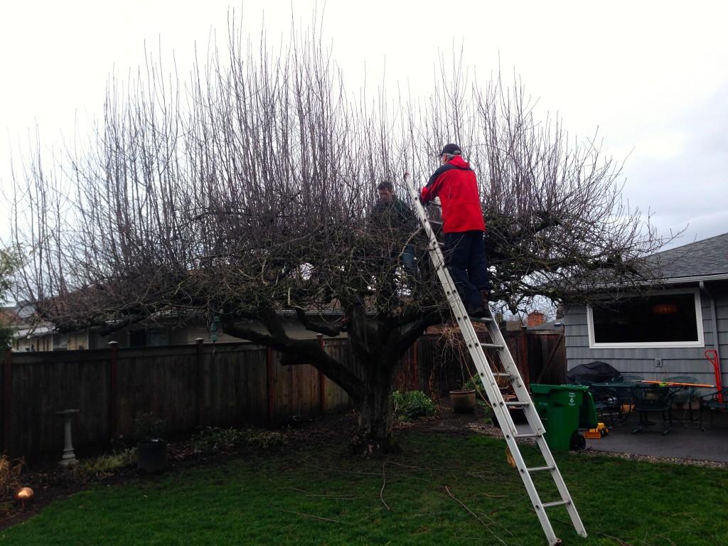 men in apple tree