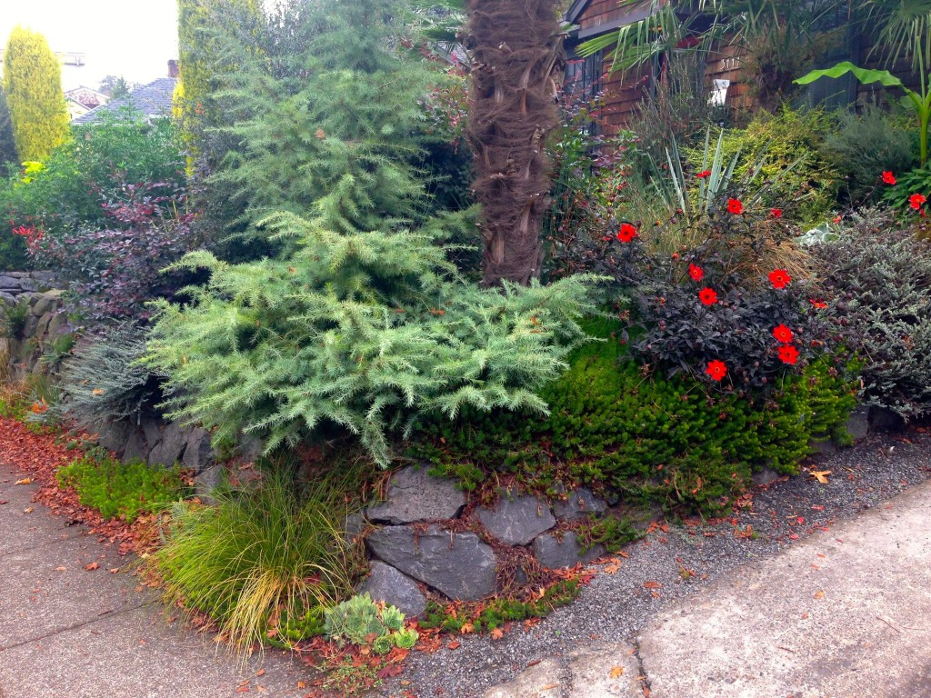 wilamette garden with conifer and dahlia