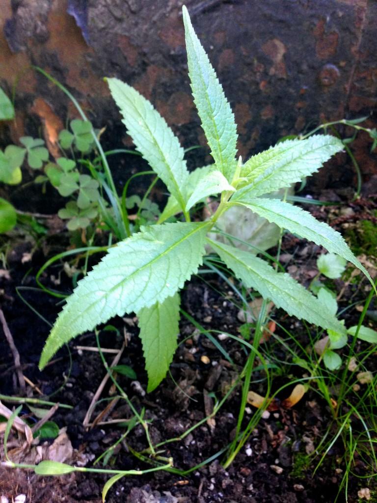 false hemp seedling