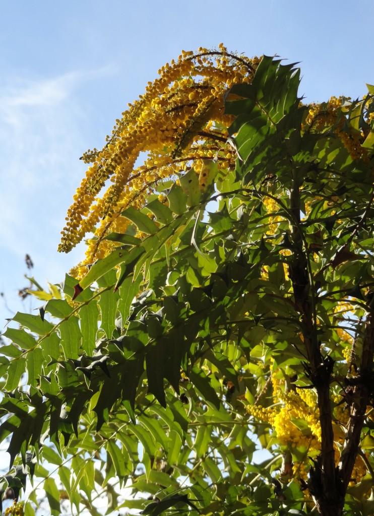 1 Mahonia lomariifolia flower