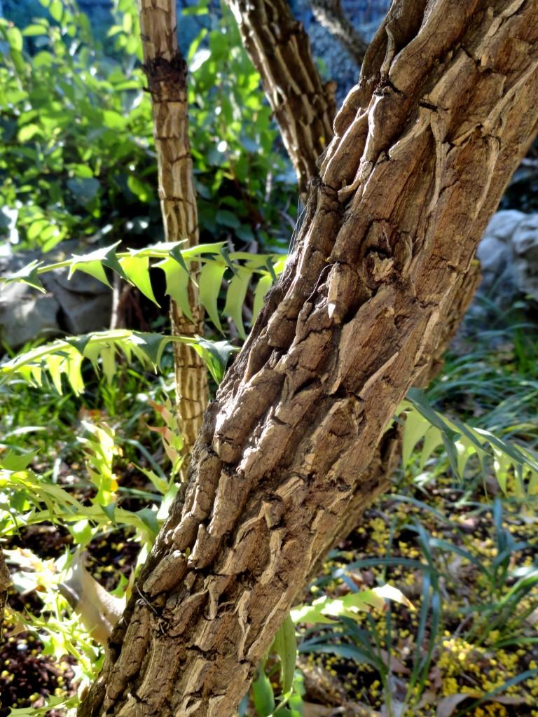 Mahonia lomariifolia bark