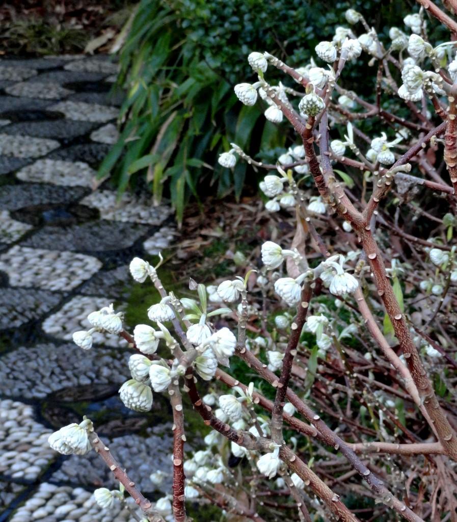 Finding that elusive winter interest plant lust for Edgeworthia chrysantha