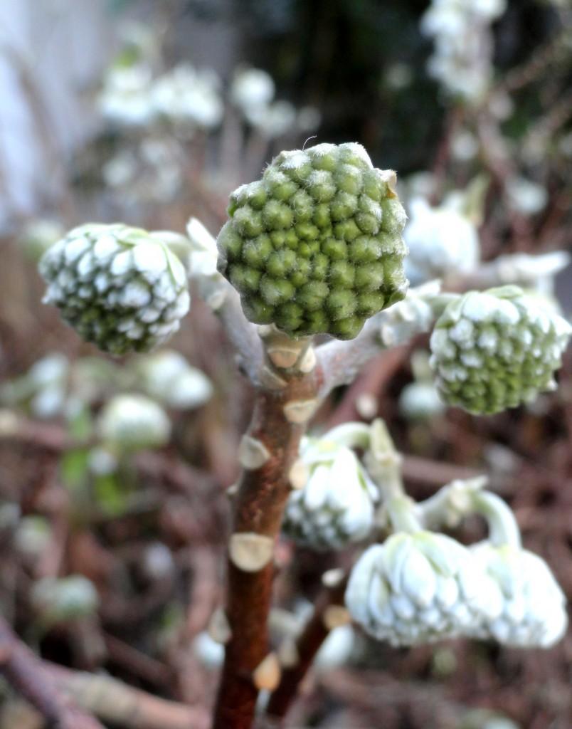 Edgeworthia chrysantha close-up