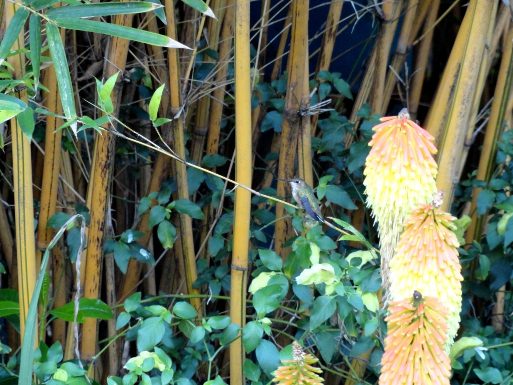 hummingbird at the Huntington Gardens