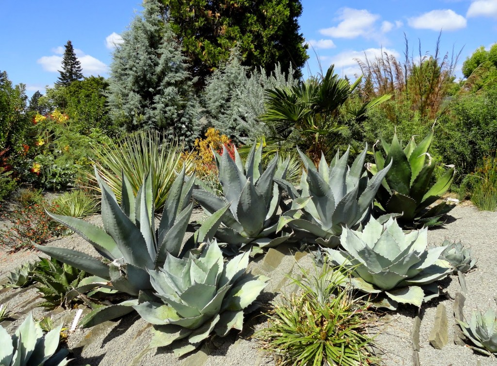 Agave 'Silver Surfer'